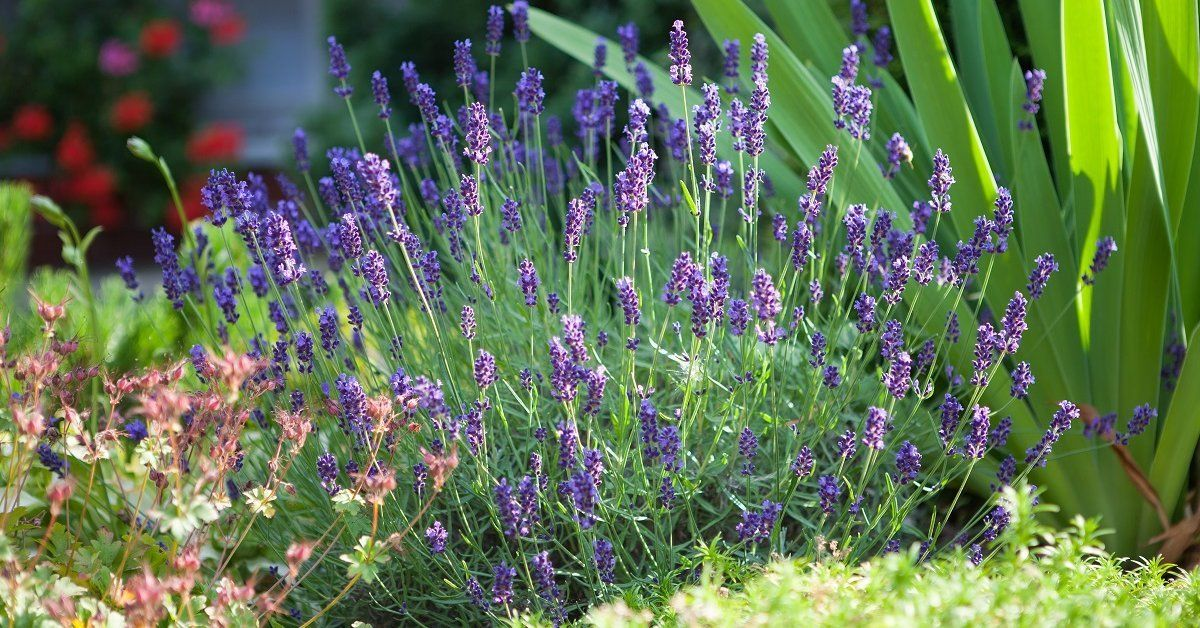 Пряные травы на огороде лаванда узколистная