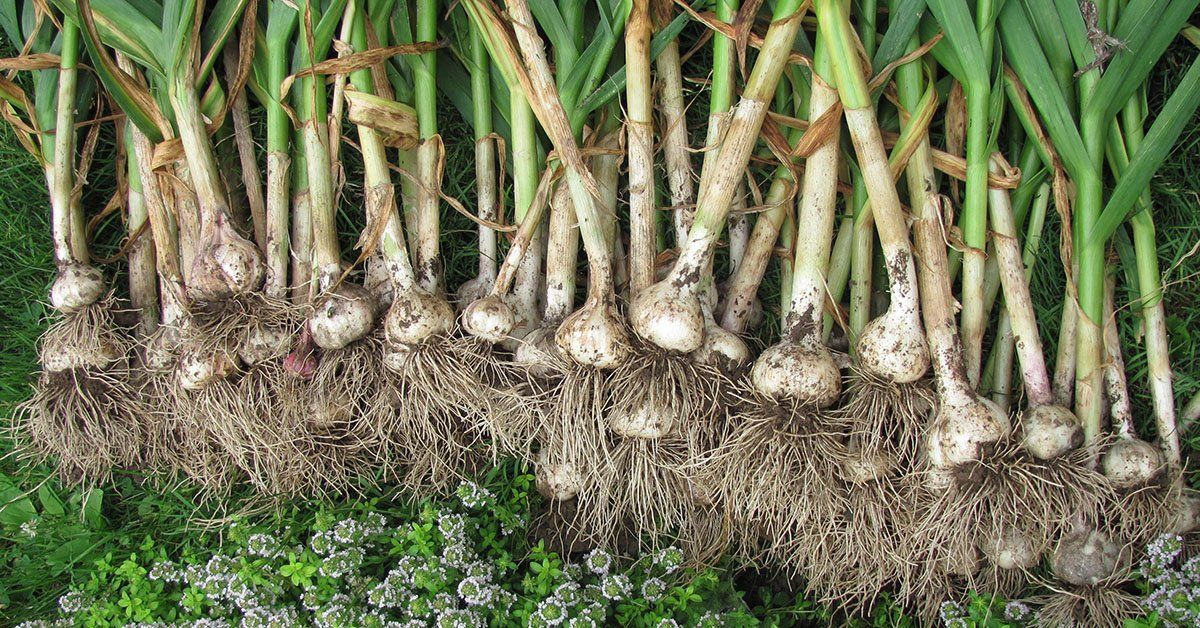 Выращивание чеснока Посадка чеснока и уход за ним
