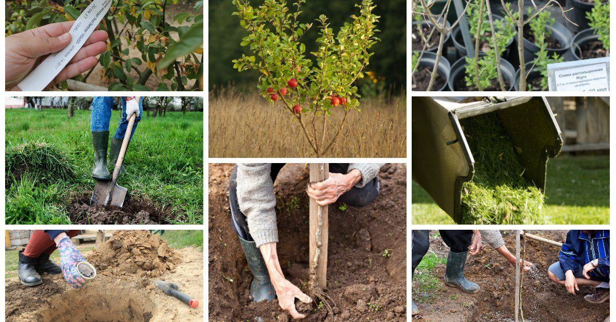 Можно ли осенью сажать саженцы деревьев 60