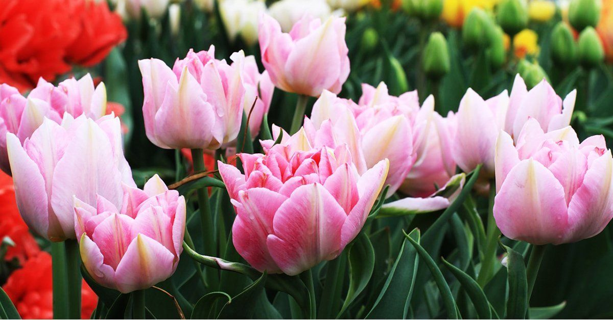 Тюльпаны виды и сорта
