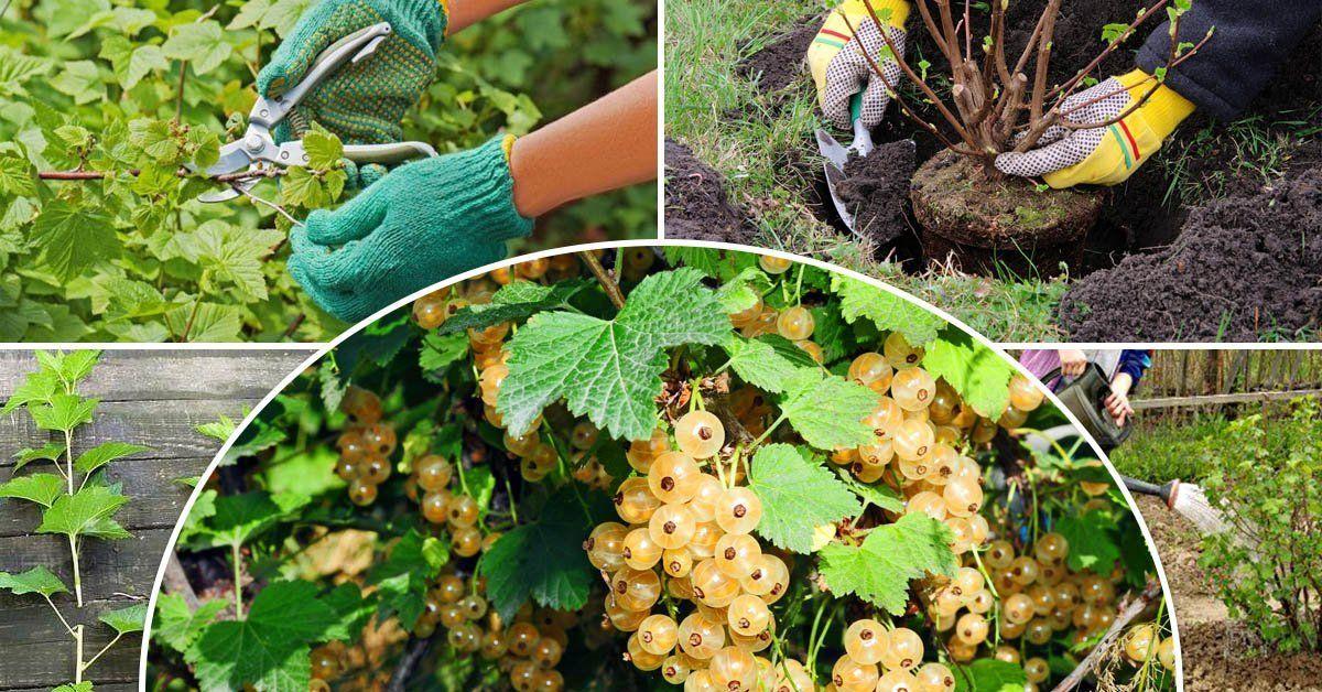 Смородина: посадка и уход, выращивание в саду, обрезка и размножение, болезни и вредители