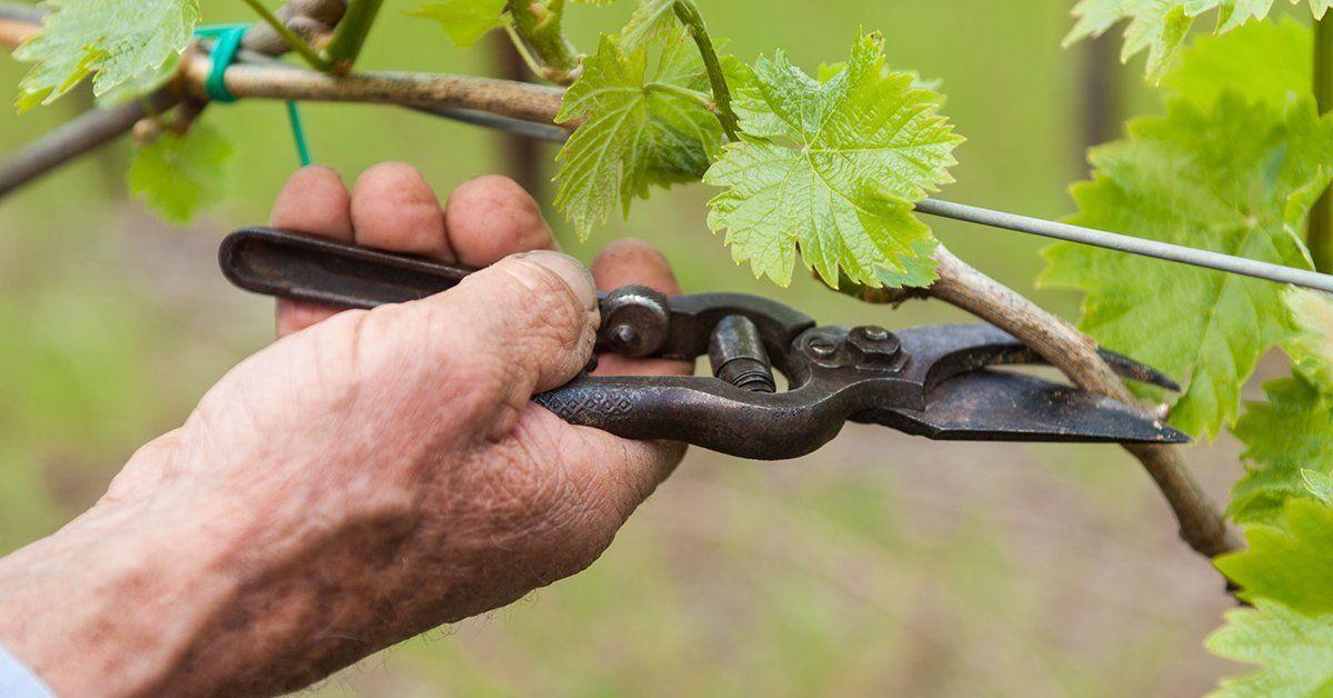 Когда обрезать верхушки у винограда
