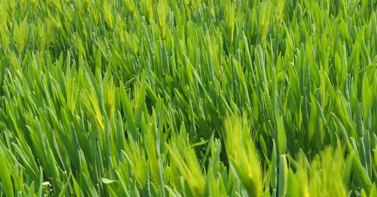 Пшеница как сидерат осенью и весной: можно ли подсевать озимую и яровую пшеницу в качестве сидерата, как это правильно сделать