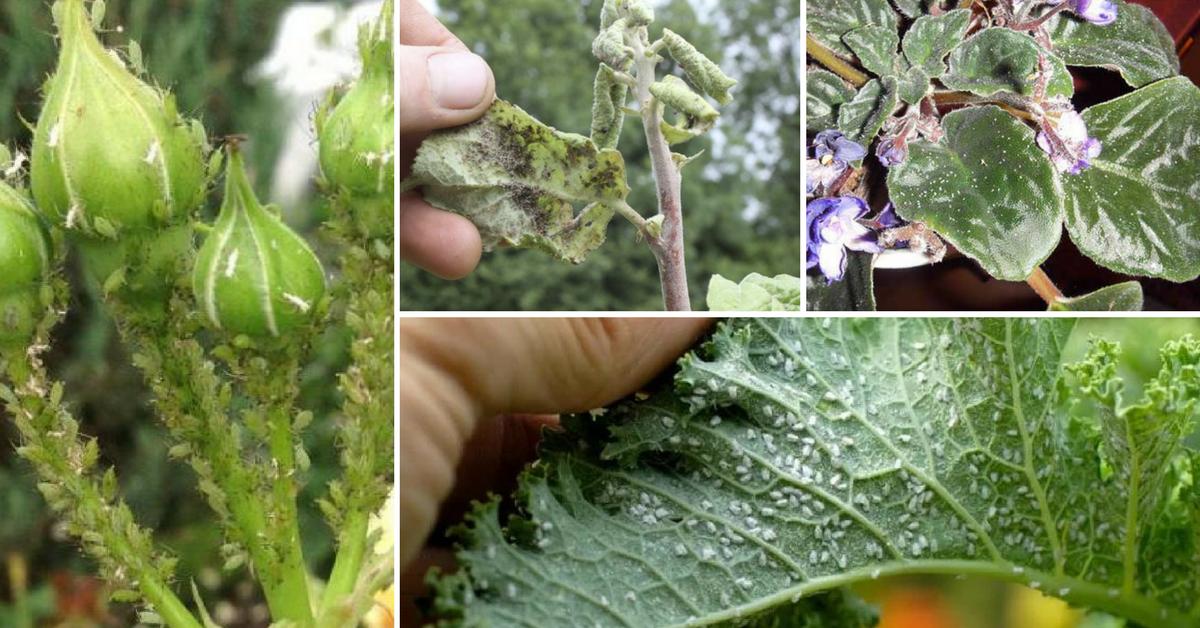 Как появляется тля на растениях