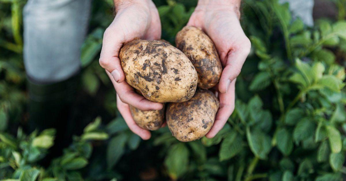 Картофель выращивание и болезни 94