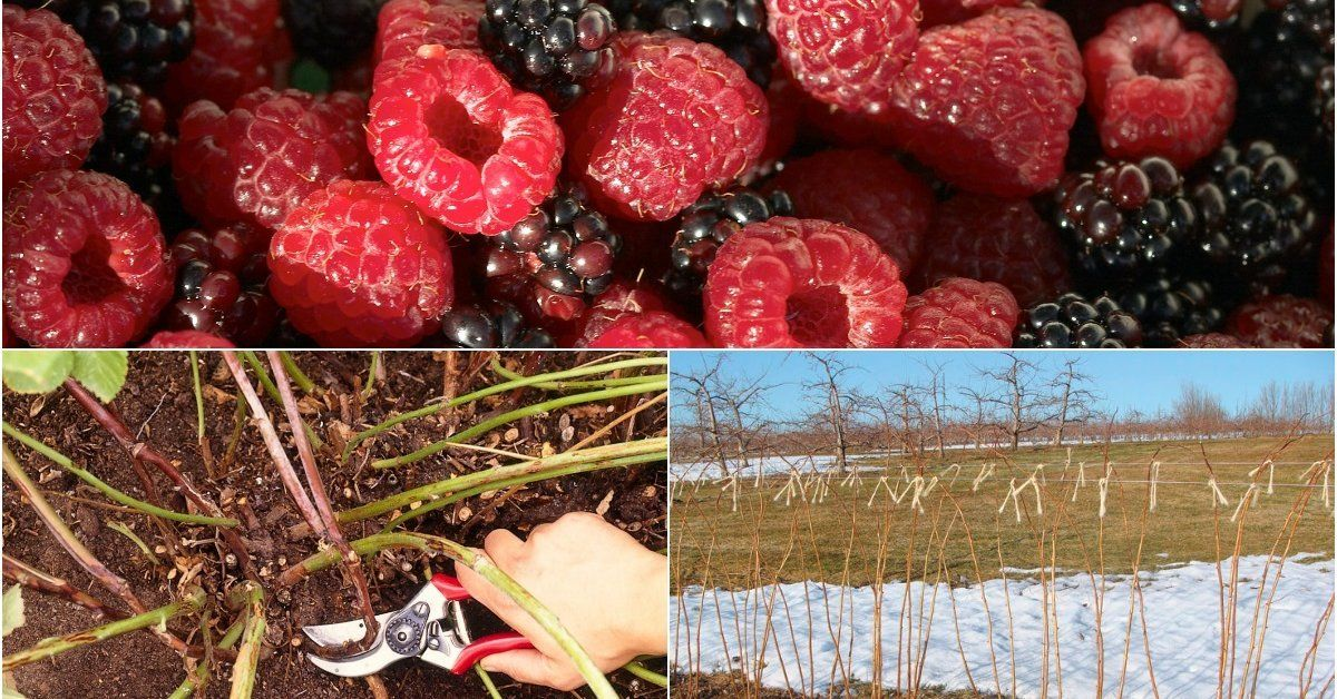 Как подготовить малину к зиме