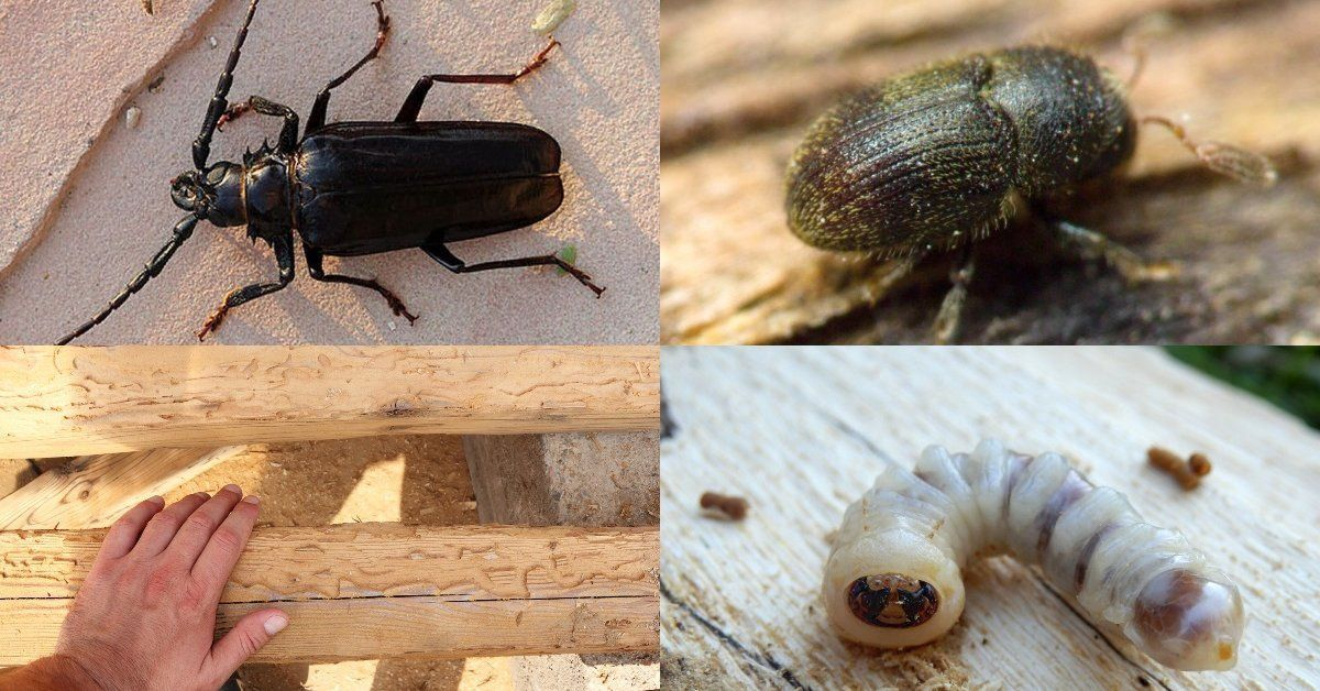 Виды жука точильщика и методы борьбы