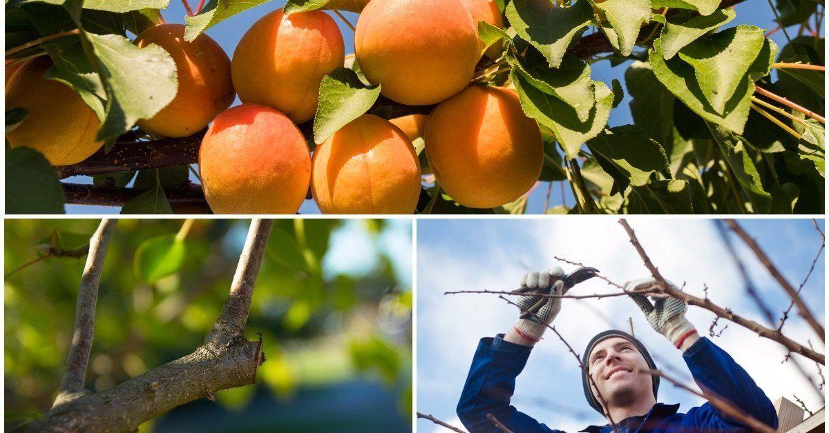 Обрезка саженца абрикоса при посадке