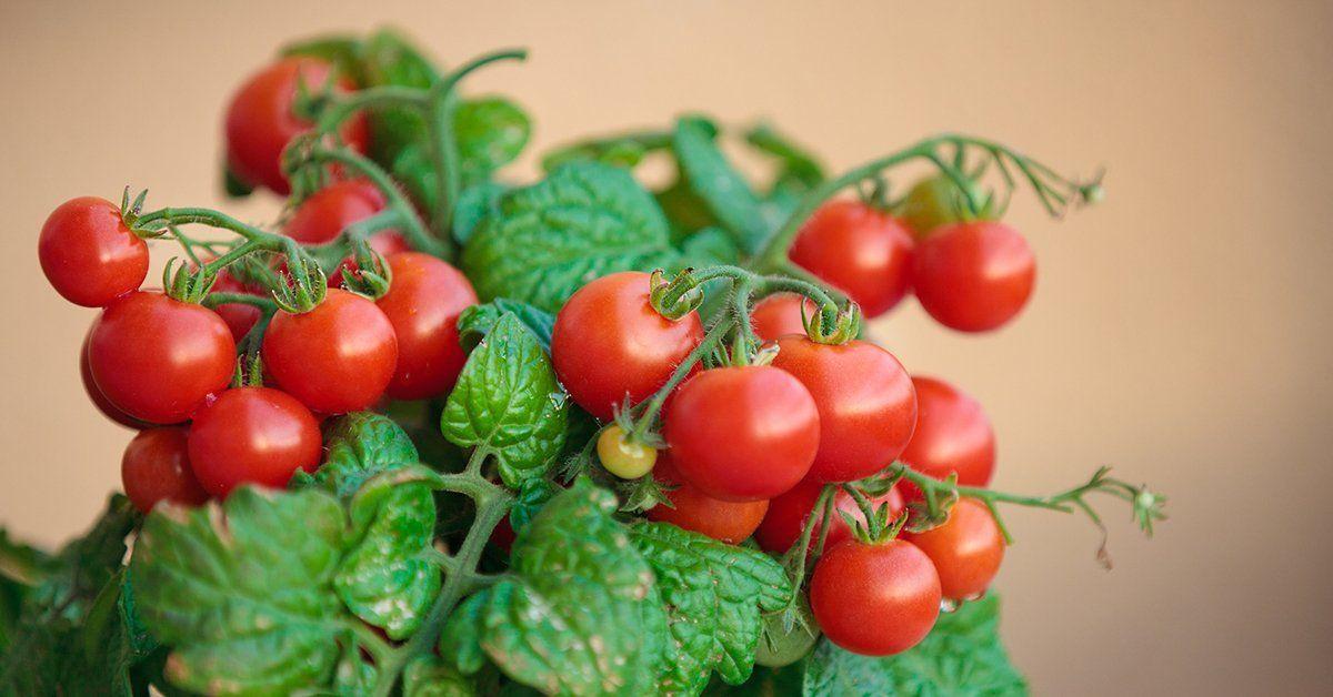 Огурцы и помидоры на балконе сорта