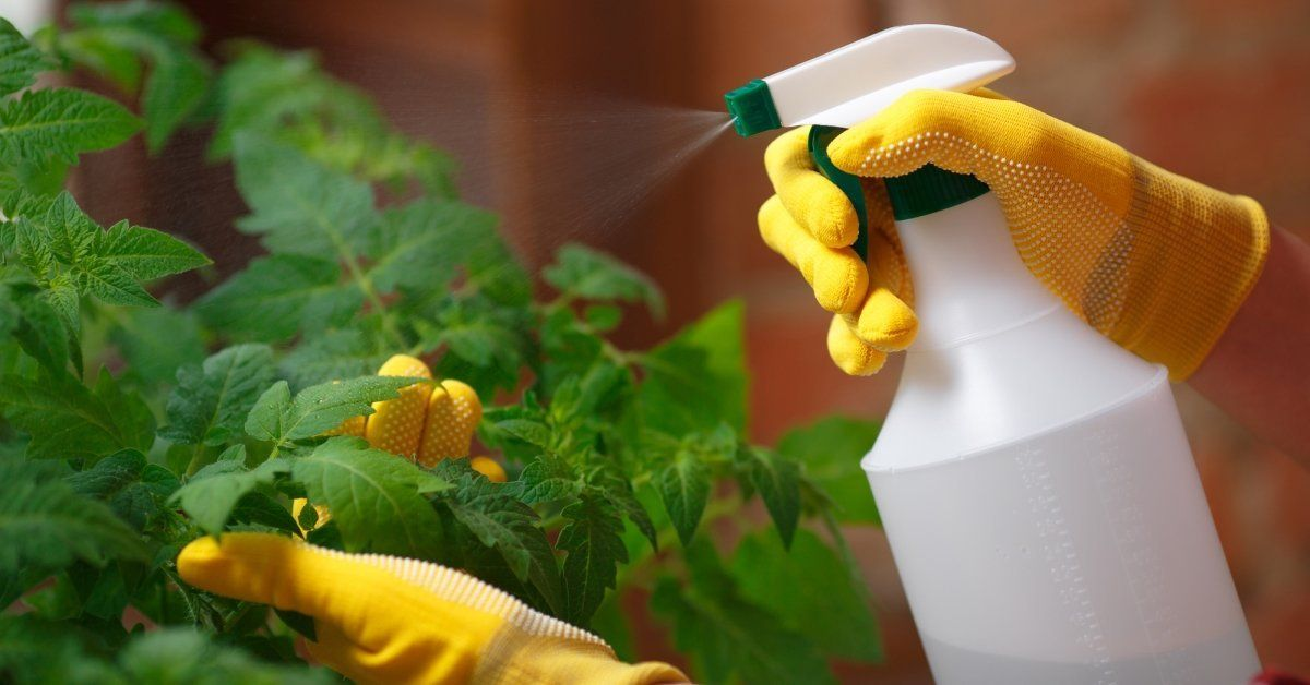 Самые опасные вредители рассады помидор и эффективная борьба с ними