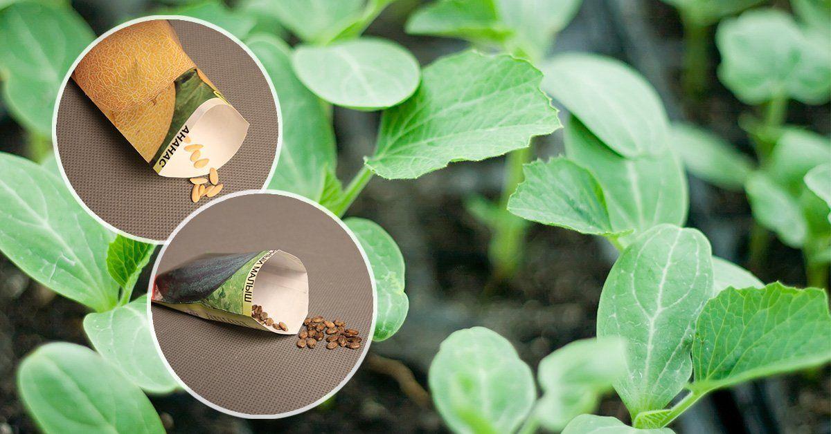 Как вырастить дыню и арбуз