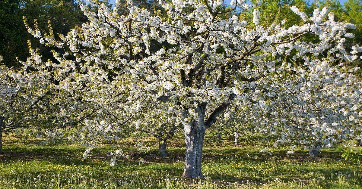 Почему черешня не плодоносит: причины и что делать