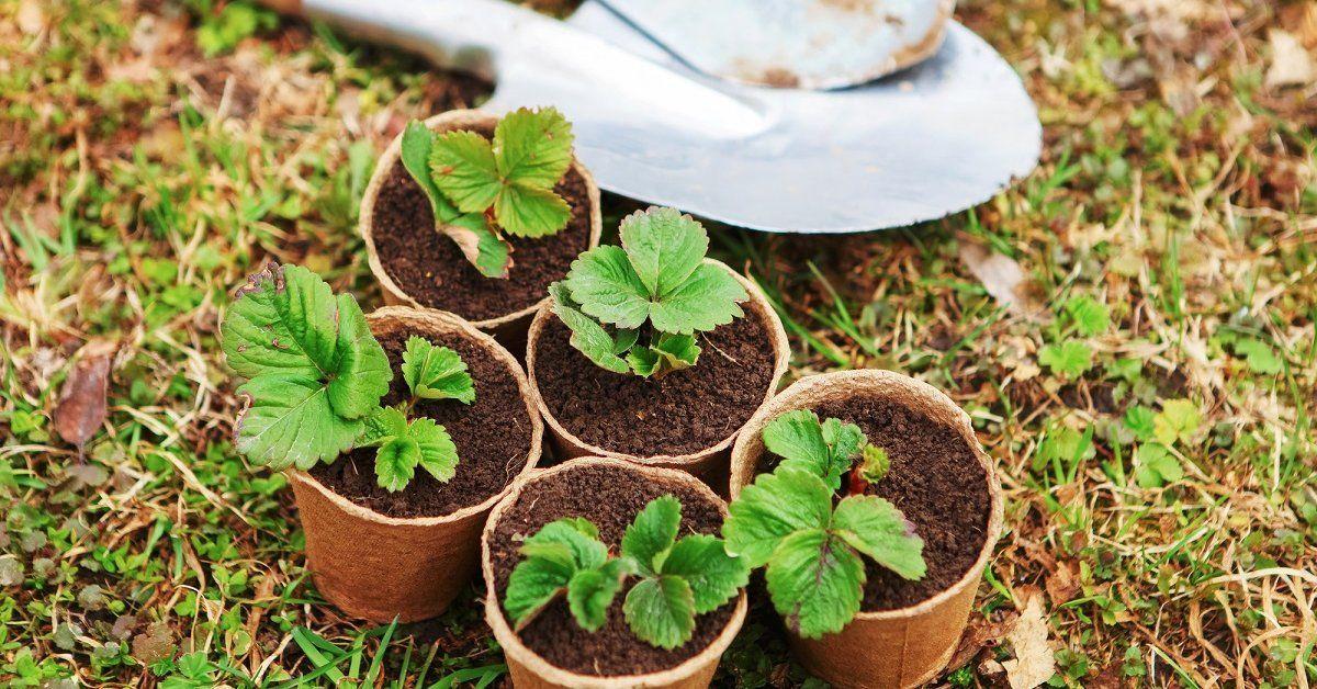 Как вырастить рассаду клубники 66