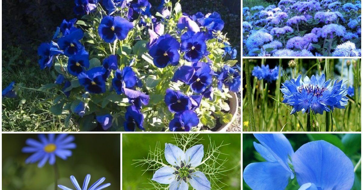 Цветок с синими цветочками название