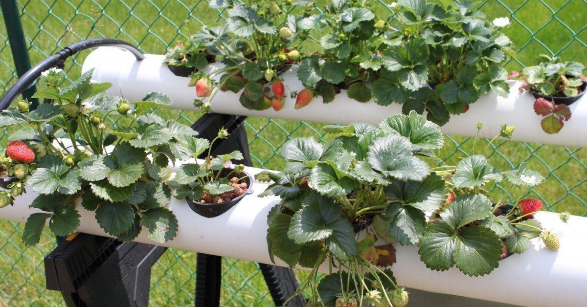 Выращивание клубники подвесной 96
