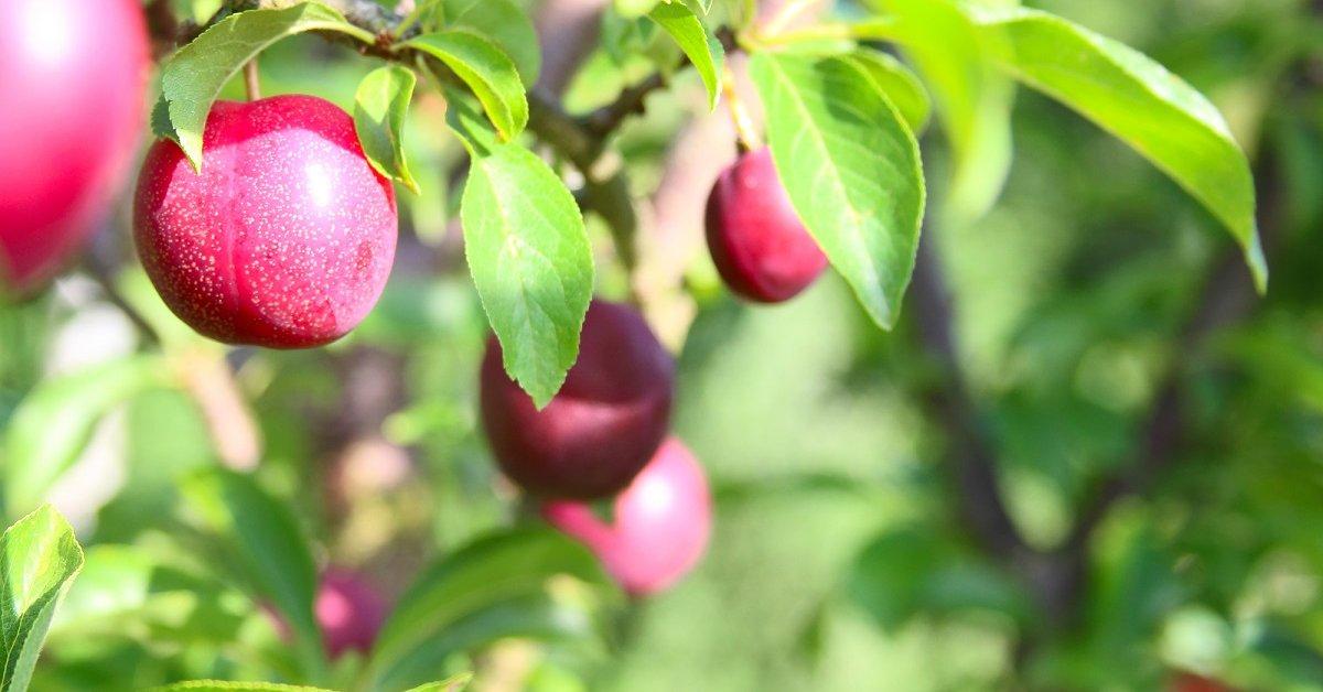Посадка сливы весной и осенью советы садоводу