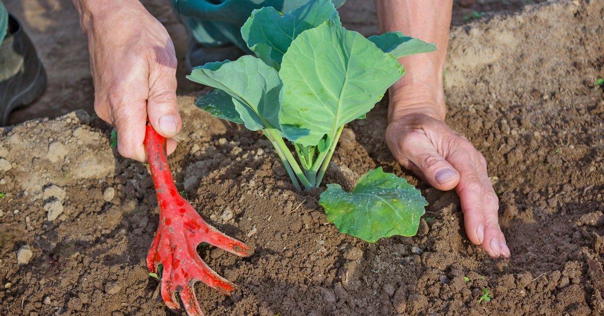 Как правильно сажать капусту в открытый грунт 21
