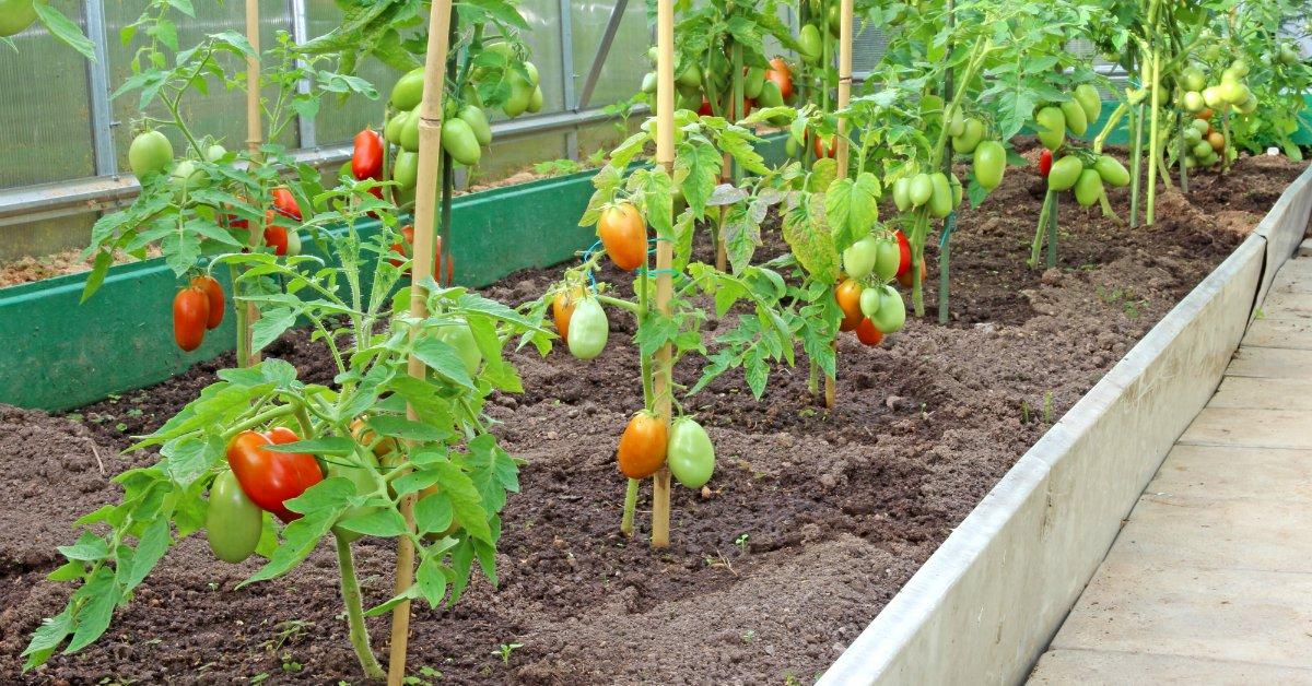 Ультраранние сорта томатов с описанием и фото