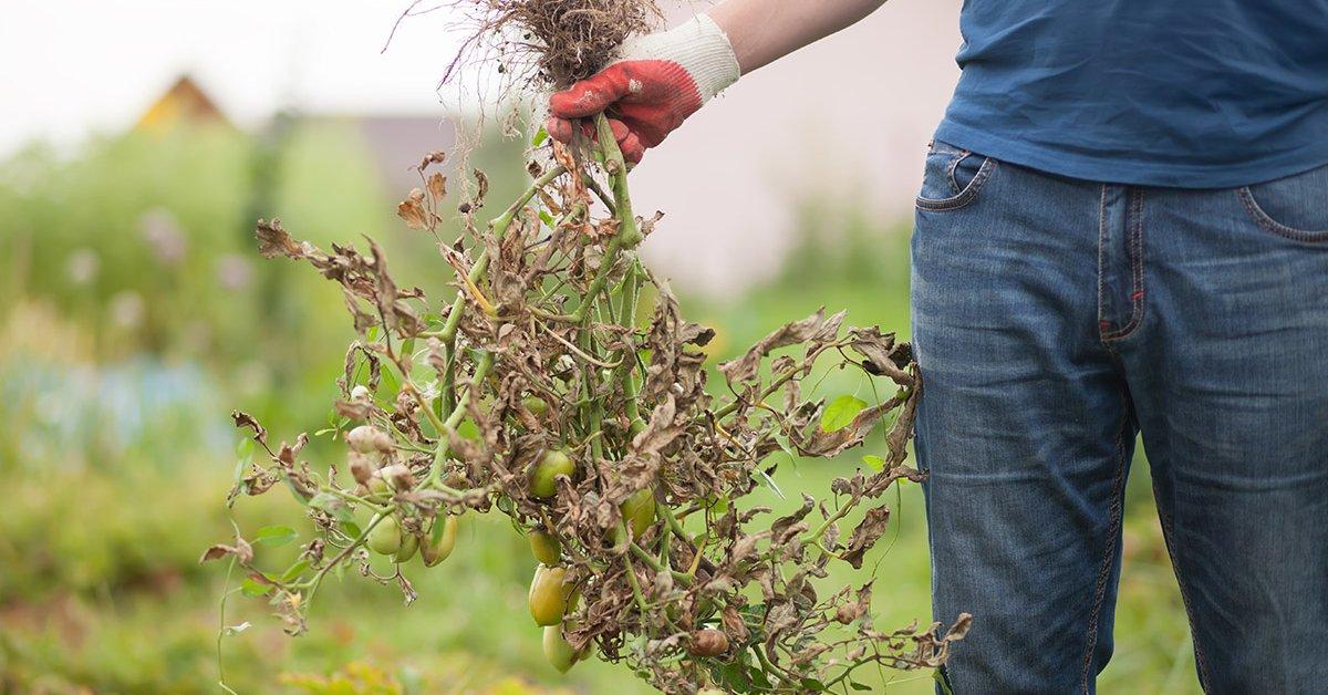 Фитофтора на помидорах: как бороться