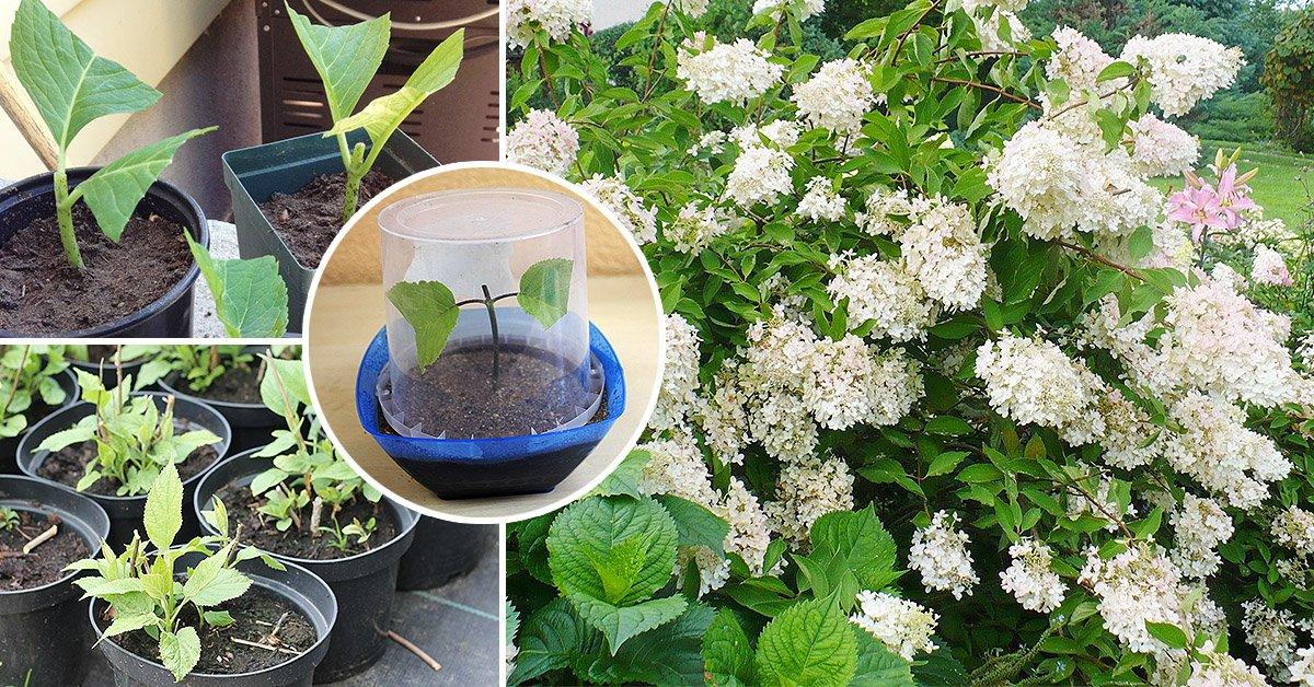 Черенкование гортензии летом и весной, как размножить и укоренить цветок черенками, самый простой способ разведения в домашних условиях