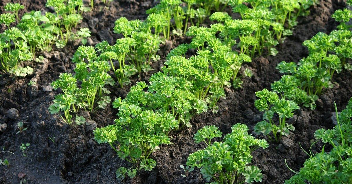 Как правильно сажать петрушку семенами на рассаду и в открытый грунт