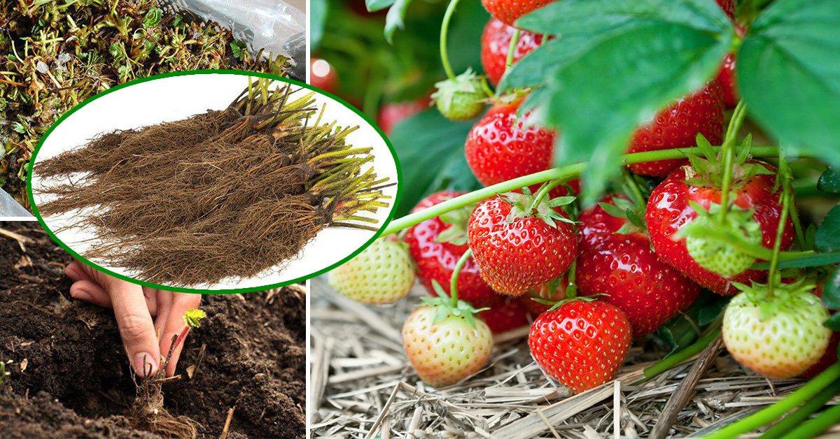 Земляника фриго – как выбрать, сохранить и посадить рассаду