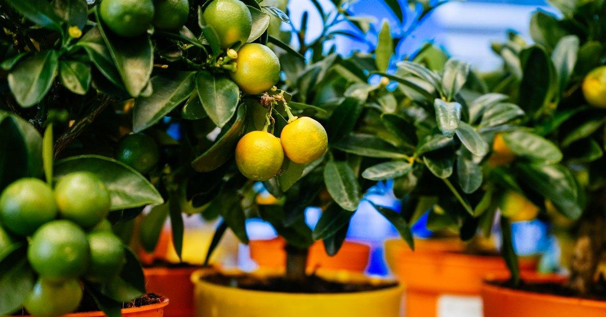 Плодовые растения на подоконнике