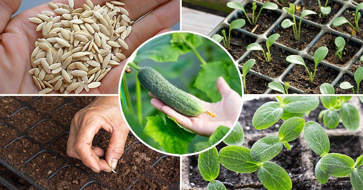 Как правильно вырастить рассаду огурцов в домашних условиях