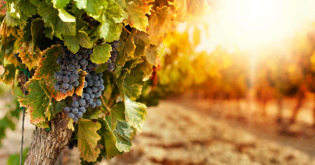 Картинки виноградной лозы с виноградом