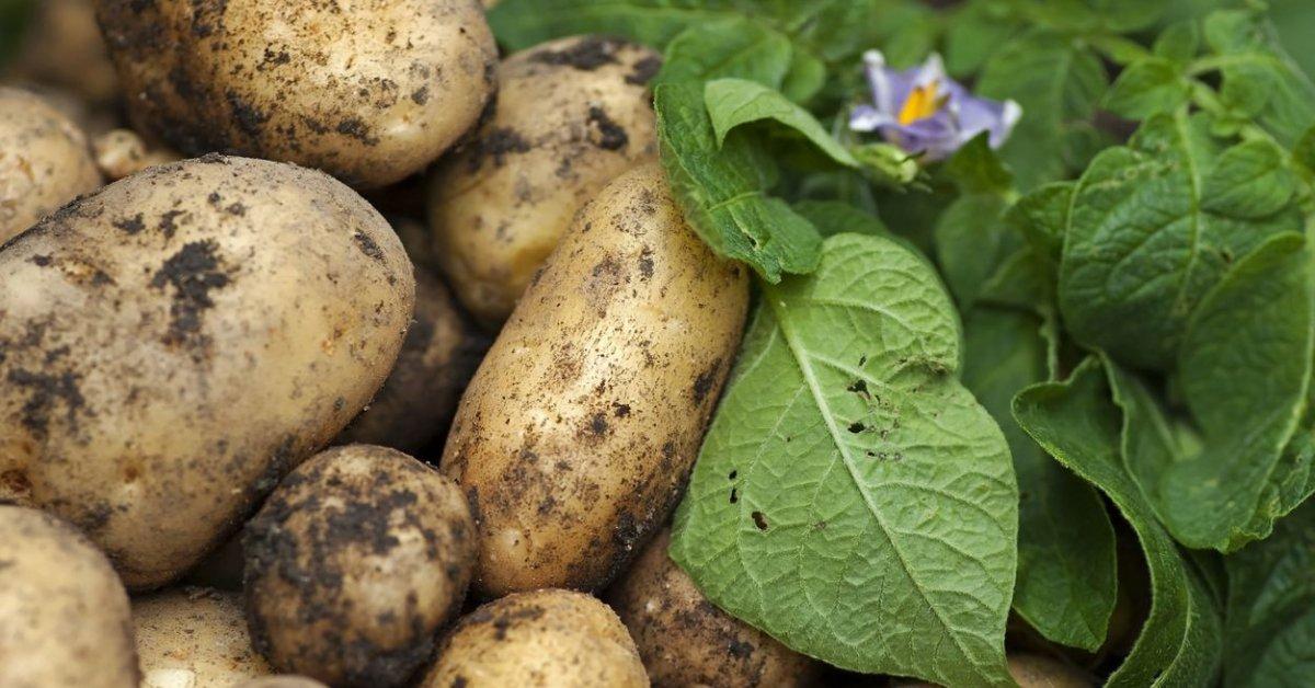 Лучшие сорта картофеля для Сибири: описание и особенности выращивания, фото