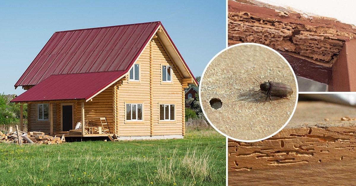 Как избавиться от короеда в доме: что делать если в деревянном доме завелся короед