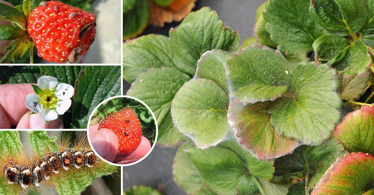 Чем обработать клубнику от белокрылки осенью