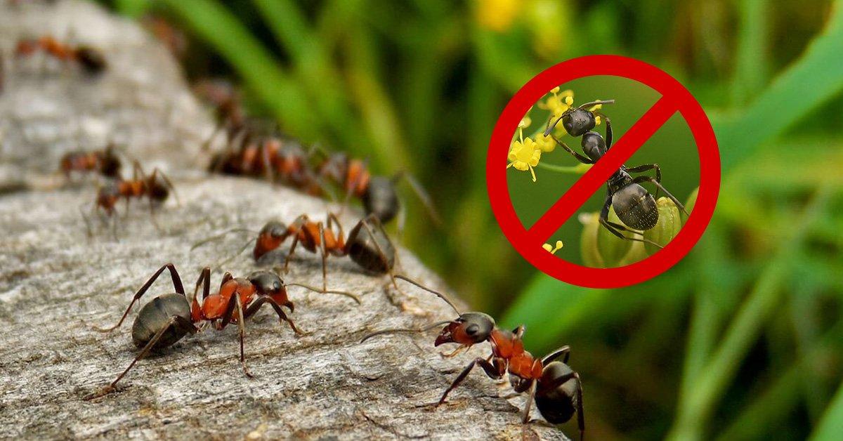 Средство от жлтых муравьв