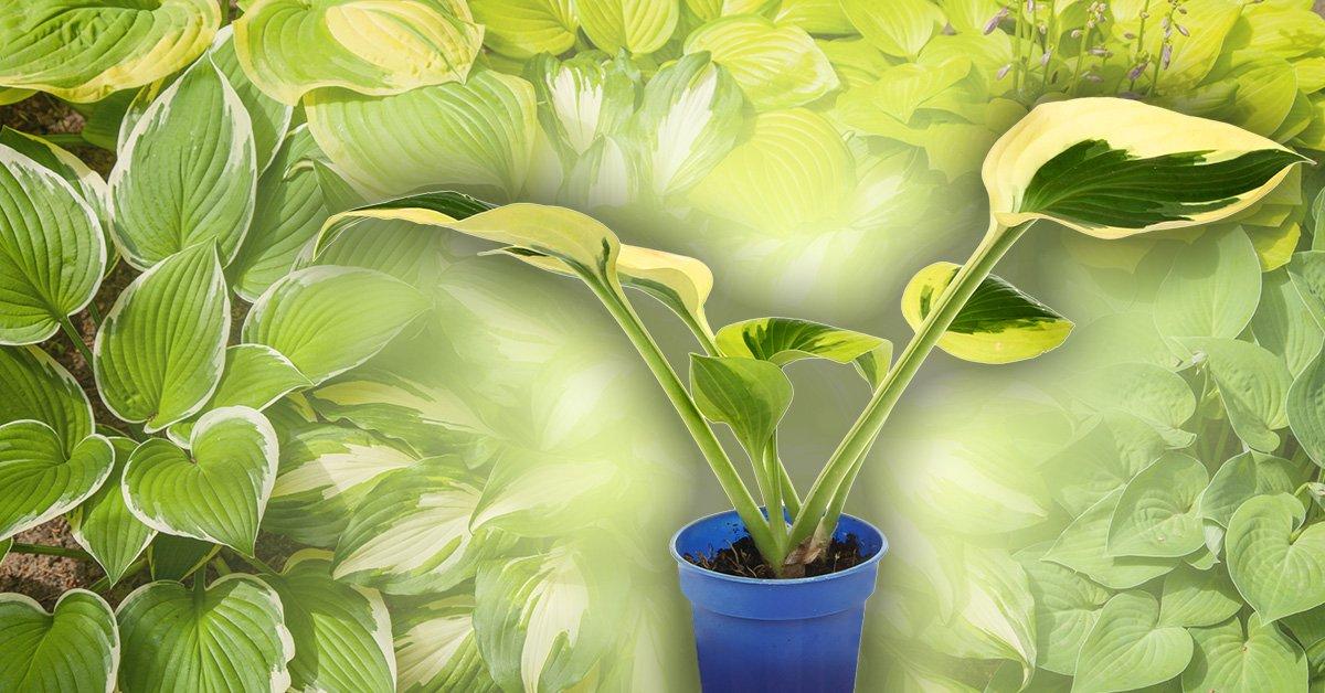 Размножение хосты делением куста когда можно делить куст и рассаживать Как рассадить хосту летом Как разделить куст не выкапывая его Пересадка весной и осенью