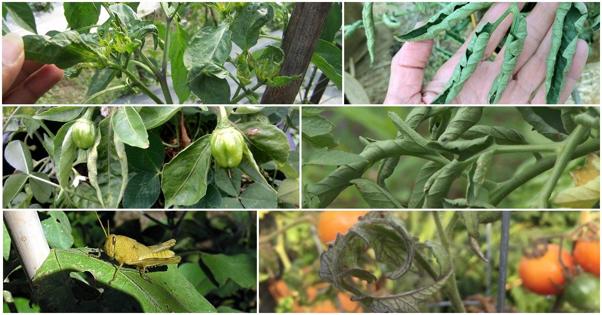 Что делать, если у рассады помидоров закручиваются листья