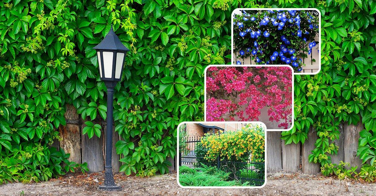 Что посадить вдоль забора на даче, выбор кустарников и деревьев