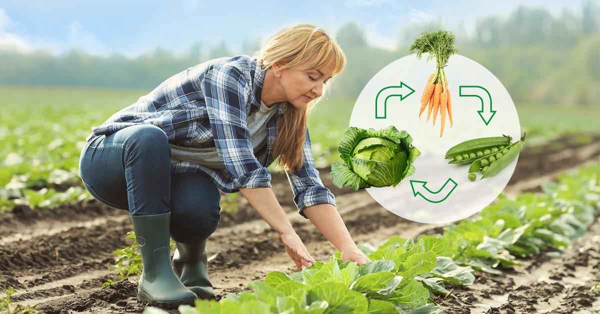 Что можно сажать рядом с капустой в открытом грунте, а что нельзя, культуры от вредителей