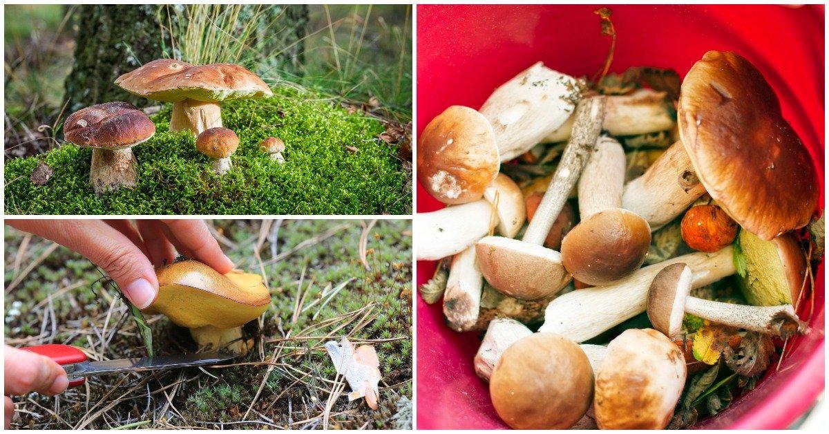 Грибы до какого месяца растут. До какого месяца растут белые грибы