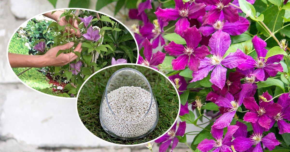 Подкормка клематисов весной и летом на даче для цветения