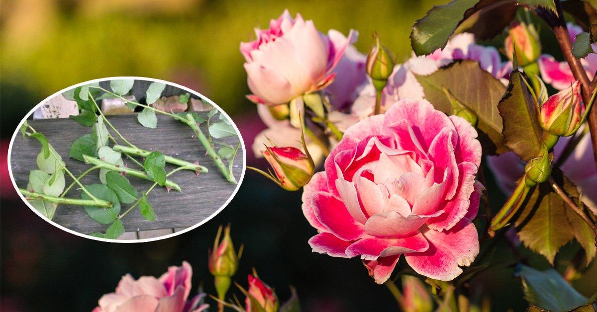 Правильное черенкование роз