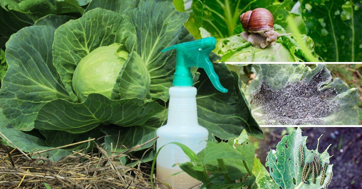 Чем обработать капусту от тли народными средствами  Bexhoevedeinfo