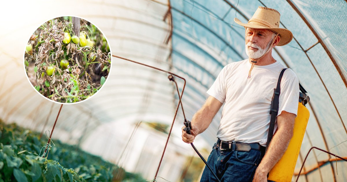 Как избавиться от фитофторы в огороде