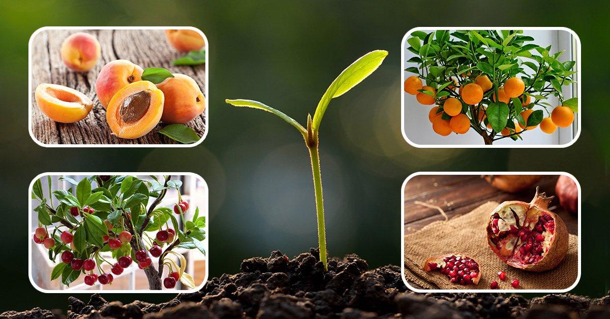 Как вырастить сливу из косточки: посадить в домашних условиях, будет ли она плодоносить,