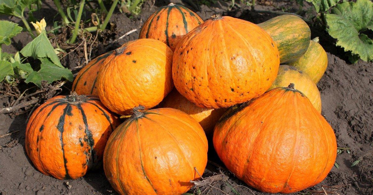 Осенний урожай тыквы − своевременная уборка и правильное хранение