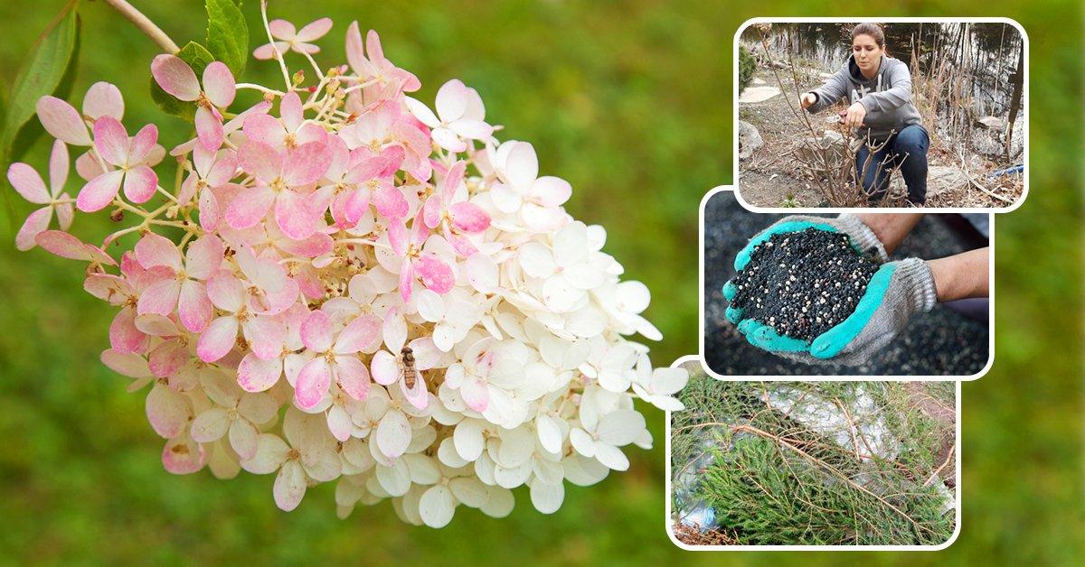 Посадка гортензии осенью в открытый грунт: когда лучше сажать растение, подготовка к зиме