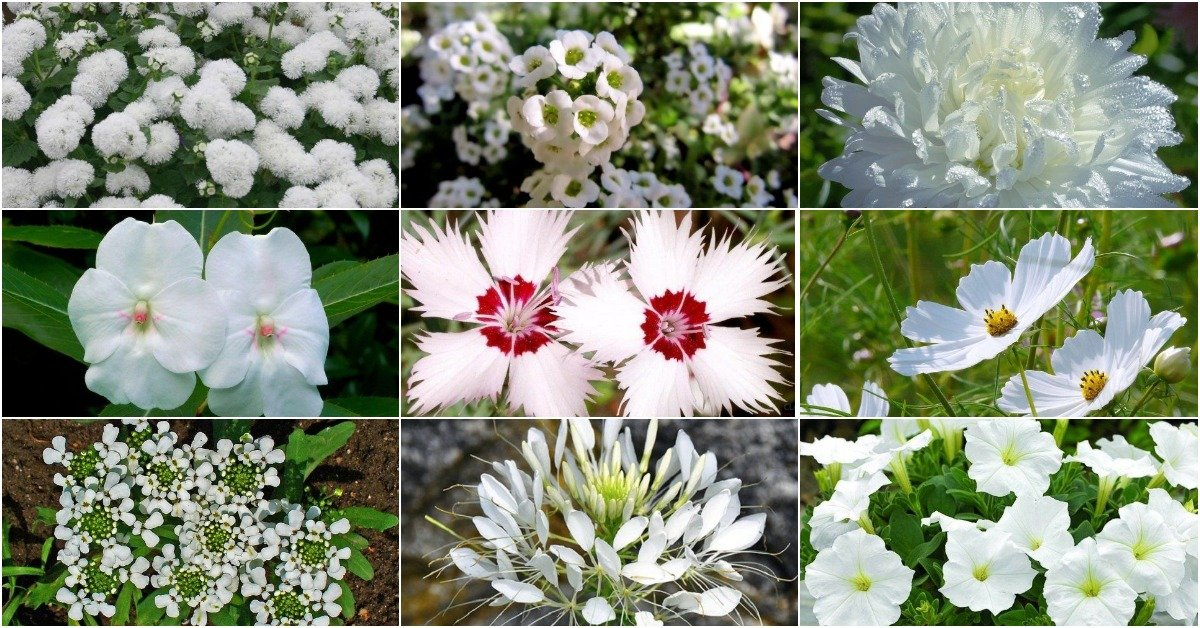 Душистые цветы для клумбы