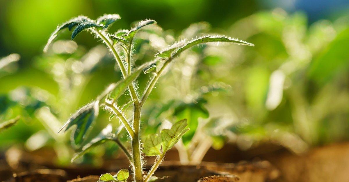 Как вырастить хорошую рассаду баклажанов