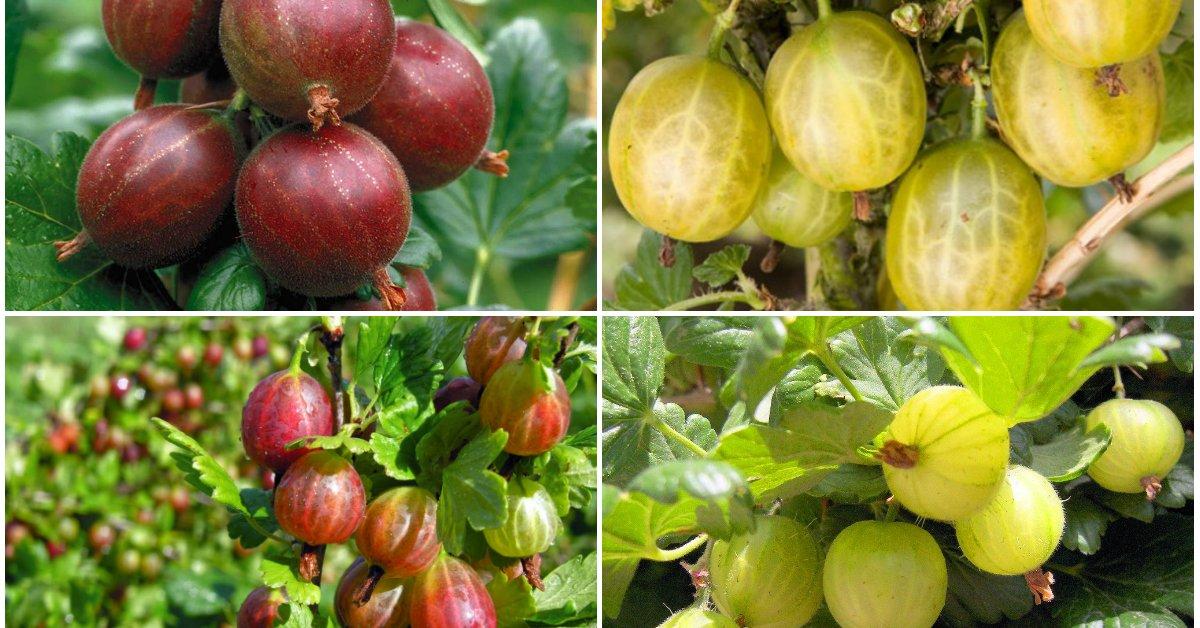 Самый крупный крыжовник зеленый, розовый, желтый, красный: описание крупноплодных сортов с большими ягодами