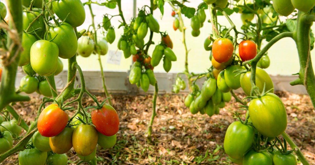 Выращивание помидор на Урале в теплице
