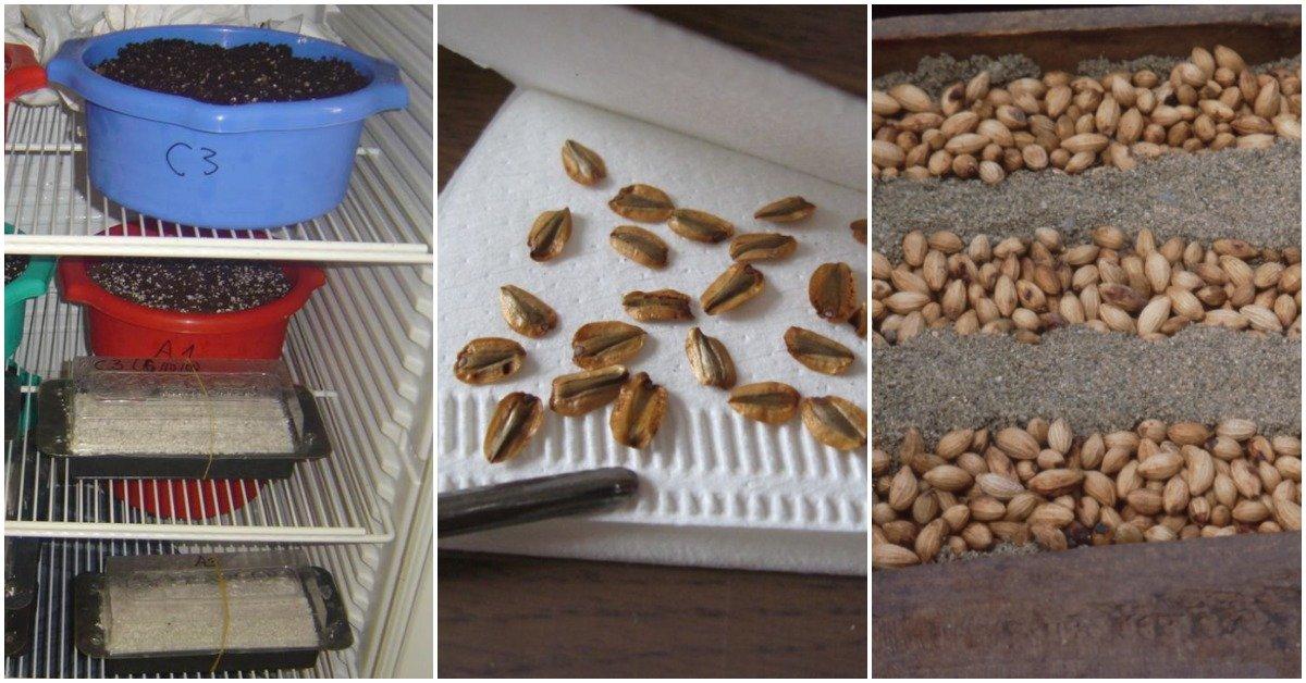 Стратификация семян: как и зачем проводить процедуру. Что такое скарификация